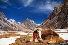 KEEP CALM LIKE YAK (Anton Jankovoy (www.jankovoy.com)) Tags: travel nepal yak sky snow mountains travelling nature animal clouds trekking trek landscape high rocks altitude bull pasture himalayas  kanchenjunga kangchenjunga           lhonak