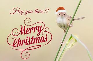 Christmas Fairy Wren