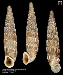 bulgarica (bulgarica) rugicollis carissima roumanie 11mm8