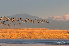 Geese take flight