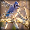 Christmas blue jay (The Suss-Man (Mike)) Tags: bird nature animal georgia gainesville bluejay hallcounty thesussman sonyalphadslra550 sussmanimaging