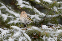 Pine Siskin on Snowy Pine_44752.jpg (Mully410 * Images) Tags: winter snow cold bird birds birding pinesiskin bog birdwatching birder rf conifer siskin sprucetree saxzimbog