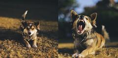 rawr! (AbubakrJ) Tags: pakistan dog canon 50mm 14 explore islamabad 6d explored