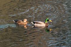 IMG_4755.jpg Mallard ducks (ldjaffe) Tags: mallardducks schwanlake