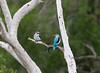 Woodland Kingfisher (Halcyon senegalensis) Senegalliest (jaffles) Tags: holiday nature southafrica wildlife natur olympus safari np südafrika kruger krüger lakepanic