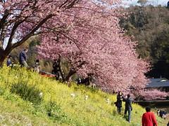 Kawazu-zakura Cherry Blossoms and Rape Blossoms Festival (izunavi) Tags: japan  cherryblossoms shizuoka izu rapeblossoms  minamiizu shizuokaprefecture kawazuzakura     minamiizutown   izuphoto kawazuzakuracherryblossomsandrapeblossomsfestival