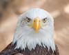 Bald eagle portrait (mnielsen9000) Tags: portrait bird baldeagle tenerife haliaeetusleucocephalus jungleparkzoo