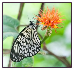 Idea Leuconoe Butterfly (fabriciodo) Tags: flower macro butterfly insect lepidoptera papillon borboleta mariposa schmetterlinge farfalle sigma150 lepidotera nikond300s