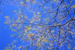 Chinaberry (Purple Field) Tags: blue autumn sky color film leaves japan rollei analog 35mm walking iso100 kyoto fuji 京都 日本 40mm 秋 provia 散歩 f28 chinaberry sonnar nagaokakyo カラー 富士 青空 rdpiii hft rdp3 黄葉 銀塩 フィルム 35se 栴檀 アナログ ローライ35 長岡京 canoscan8800f ゾナー プロビア せんだん