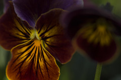 Viola - May 2016 (GOR44Photographic@Gmail.com) Tags: flower macro yellow canon petals 100mm viola 100mmf28 canon100mm 60d gor44