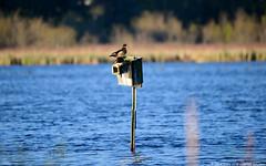 Wood Duck (Aix sponsa) Pair at Nest Box (Steve Arena) Tags: bird birds duck massachusetts marsh volunteer concord waterfowl usfws woodduck 2016 aixsponsa middlesexcounty wodu marshbird marshbirds lowerpool gmnwr concordimpoundments marshbirdsurvey marshbirding