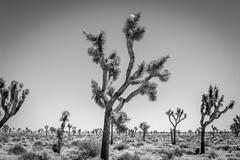 Joshua Trees (mikerastiello) Tags: california ca blackandwhite nationalpark joshuatree joshuatreenationalpark joshuatreecalifornia joshuatreeca