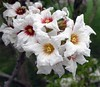 May flowers (gomosh2) Tags: xanthocerassorbifolium chinesefloweringchestnut springtree mayflowers treeflowers
