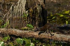 Mink On The Run (mjcarsonphoto) Tags: mink sandyridge