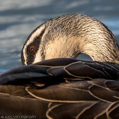 Pacific Black Duck 0L2A1328 (Kelvin Param) Tags: australia victoria glenroy
