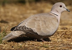 Collared Dove (GrahamParryWildlife) Tags: new uk blue red sky sunlight male bird eye up field animal sport landscape photo kent flickr peace dof outdoor dove sigma add 7d mk2 dungeness marsh prey hay viewing depth thrush collared plumage rspb kentwildlife 150600 grahamparrywildlife