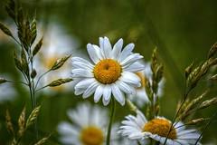 Flowers (builder24car) Tags: nature whiteflower dof northcarolina daisy thegreatoutdoors