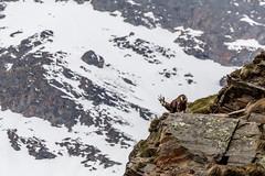 Camoscio (Luciano Fochi) Tags: valledaosta granparadiso valsavaranche camoscio
