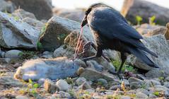 Crow with rabbit. (The Rustic Frog) Tags: uk morning wild england sun rabbit bird leaves sunshine fur dead dawn rocks body feathers strength crow carrion carcass warwickshire guts innards