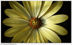 Sunshine Flower (Paul Simpson Photography) Tags: flowers plant flower nature fleur yellow petals yellowflower pollen naturalworld android photosof imageof photoof mobilephonephotography imagesof androidphotography paulsimpsonphotography lgg3 nicephotosofflowers