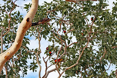 Drama in the Outback 3 (aussiegypsy_tropical FNQld) Tags: old red wild black tree bird nature gum outdoors branch nt top wildlife attack australian katherine australia foliage end outback python aussie northern drama lorikeets headed hollows sites nesting territory collared birdlife