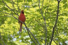 DSC_1579 - Cardinal (tonybatal) Tags: red bird cardinal
