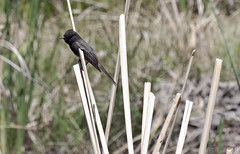 Black Phoebe (Sayornis nigricans);Black Phoebe (Sayornis nigricans); Agua Caliente Regional Park, Tucson, AZ [Lou Feltz] (deserttoad) Tags: park newmexico bird nature water animal phoebe flycatcher wildbird