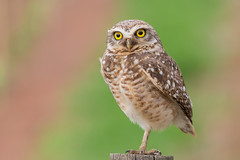Burrowing Owl (Thelma Gatuzzo) Tags: bird fauna sopaulo des raptor owl coruja silvestre birdwatching oiseaux terriers athenecunicularia burrowingowl buho corujaburaqueira steenuil birdsofbrazil chevchedesterriers kaninchenkauz chevche lechucitavizcachera chouettedesterriers lechucitapampa lechucitadecampo thelmagatuzzophotography