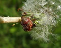 Eurygaster testudinaria (rockwolf) Tags: france insect dandelion somme 2016 punaise hemiptera heteroptera scutelleridae rockwolf eurygastertestudinaria airedereposdelahtroye