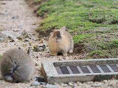 B6250723 (VANILLASKY0607) Tags: rabbit bunny bunnies nature animal japan photo wildlife wildanimal hydrangea rabbits rabbitisland wildrabbit okunoshima