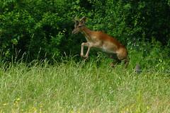DSC05195 - Roe Deer (steve R J) Tags: abbey mammal dragonfly meadows deer british essex roe sanctuary waltham cornmill