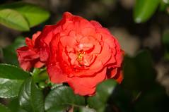 Orange Storm (liangjinjian) Tags: usa flower geotagged maryland silverspring  glenallen alphaa55sony geo:lat=3905586667 geo:lon=7703771500