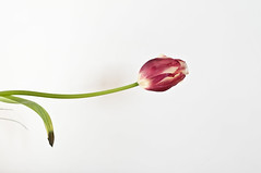 tulip (emmegi_mig) Tags: tulipa tulipano