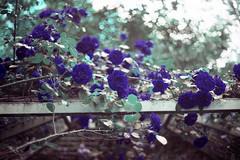 film (La fille renne) Tags: flowers blue film nature rose analog 35mm lomography bokeh turquoise canonae1program 50mmf18 lomochrome lafillerenne lomochrometurquoise lomochrometurquoisexr100400