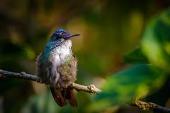 Nicaragua-033 (s4rgon) Tags: bird cloudforest dschungel fincaneblinadelbosque hummingbird jungle kolibri miraflornaturalreserve natur nature nicaragua vogel estelí ni