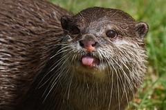 Cheeky Otter (greenzowie) Tags: animal june mammal zoo edinburgh otter edinburghzoo 2016 photographyworkshop greenzowie