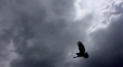 (souravpaul2) Tags: india nature clouds pigeon kolkata darksky iphone6