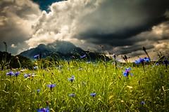 _MG_7510 (TobiasW.) Tags: blue field weather clouds feld wolken blau wetter cornflowers cornflowerfield kronblumen kronblumenfeld