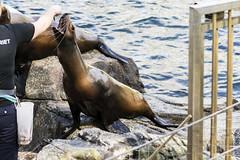 DSC_5160 (littleirons) Tags: acquarium bergen norvegia foca norwey