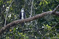 Aguila pescadora - Fish Eagle (pniselba) Tags: bird rio river costarica eagle hawk selva jungle ave pajaro osprey tortuguero pandionhaliaetus fisheagle aguila parquenacional aguilapescadora parquenacionaltortuguero