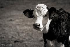 B&W Calf (Forty-9) Tags: portrait blackandwhite bw holiday animal june canon easter cow walk farm saturday devon calf lightroom easterholidays 2016 ef70300mmf456isusm eflens damagebarton forty9 eos60d tomoskay 18062016 18thjune2016 bwcalf