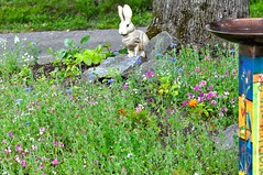 Informal Garden (pecooper98362) Tags: vestal newyork informalgarden redmaple acerrubrum wildflowers marigolds tagates bachelorsbuttons cornflowers centaureacyanus crimsonclover italianclover trifoliumincarnatum birdbath bunnystatue