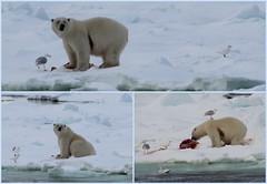 Polarbear collage (carina.ericsson) Tags: snow ice water svalbard polarbear kittiwake ivorygull isbjrn tretigms hinlopen