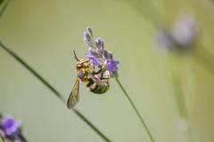 _MG_1775 (Arthur Pontes) Tags: flower green primavera nature field insect spring natureza flor deep bee abelha mosquito inseto campo deepoffield lavanda plem