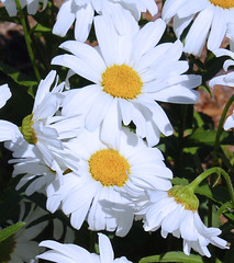 Bowing to the Royal Daisy Couple (Kris_wl) Tags: flowers summer daisies daisy reverence bowing