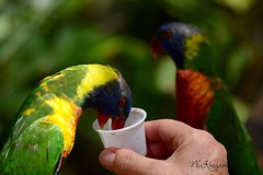 (nckreger) Tags: birds animals florida lorikeets brevardzoo