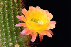 Image2666RR (staffordlaura1955) Tags: flowers cactus orange flower landscape desert bloom blooming cereus