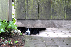 Missy Says Happy Fence Friday! (ruthlesscrab) Tags: dog fence missy notmydog hff fencefriday