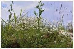 Meadow of flowers (julianwollek) Tags: blue sky white grass meadow wiese himmel daisy gras blumenwiese blumenteppich blumenterasse