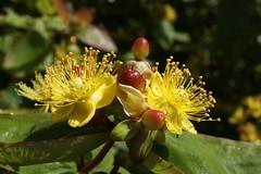 Shrub (lindawood2414) Tags: shrub berries yellow red